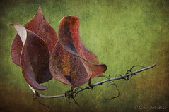 Red Greenbriar Leaves & Texture (Laurie-B) Tags: winter red plant painterly color texture leaves thorns greenbriar explored