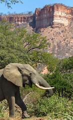 Elephant in front of Chilojo Cliffs (Hector16) Tags: africa ngc safari zimbabwe zw 2015 masvingo gonarezhou chilogorgelodge
