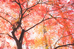 Japan15-58 (Rintarou23) Tags: nature leaves japan maple warm trave koganeishi tkyto