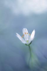 Stellaria (ElenAndreeva) Tags: flowers blue light summer sun flower color macro green art nature beautiful beauty spring bokeh stellaria
