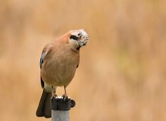 Jay / Eichelhher (lesterspringer83) Tags: bird nature wildlife natur vgel rabenvogel eichelhher hher