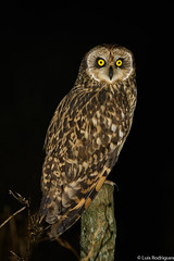 Coruja-do-Nabal (dragoms) Tags: bird portugal ave lezíria birdwatcher shortearedowl asioflammeus pontadaerva corujadonabal lezíriagrande dragoms