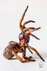 Mygale Nemesia (natur'EL photos eric leroy) Tags: macro canon tamron 60 araigne arachnide dysdera 70d