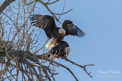 Bald Eagles copulating sequence - 8 of 28