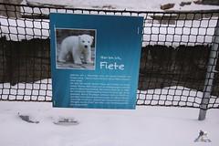 Eisbr Fiete im Zoo Rostock 23.01.2016  07 (Fruehlingsstern) Tags: vienna zoo polarbear vilma eisbr erdmnnchen fiete zoorostock geparden baumknguru canoneos750 tamron16300