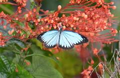 The Wanderer (Pareronia valeria lutescens) male (Pasha Kirillov) Tags: butterfly sumatra indonesia lepidoptera pieridae gunungleuser ketambe thewanderer taxonomy:order=lepidoptera geo:country=indonesia pareroniavalerialutescens taxonomy:binomial=pareroniavalerialutescens