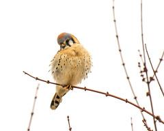 Kestrel -3995 (RG Rutkay) Tags: urban toronto bird animal falcon americankestrel humberbaypark