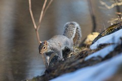 7K8A2434 (rpealit) Tags: nature field squirrel scenery wildlife gray east alumni hatchery hackettstown