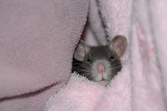 Gn? (DollEmiou) Tags: sleeping pet cute rat
