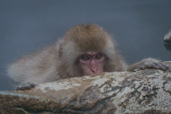Snow Monkey - big eyes (NettyA) Tags: travel winter wild pool animals japan asia wildlife nosnow naganoprefecture 2015 yudanaka snowmonkeys yamanouchi macacafuscata japanesemacaques jigokudanimonkeypark yokoyuriver