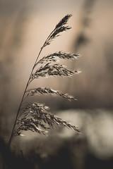 Waving (Channed) Tags: holland nature flora nederland thenetherlands natuur zuidholland reeuwijk natuurgebied reeuwijkseplassen chantalnederstigt