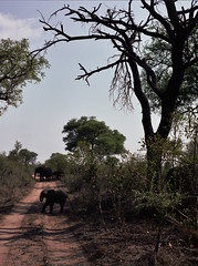 Elephants crossing (chillbay) Tags: africa elephant southafrica krugernationalpark kruger tandatula krugerafrica