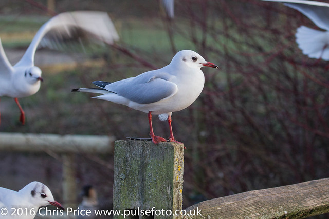 Black Headeed Gull at WWT Slimbridge