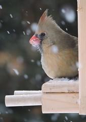 Female cardinal (Mimirocalles (Mostly off!)) Tags: birds cardinal femalecardinal naturephotography wildbirds redbirds birdphotos wintercardinal cardinalphotos
