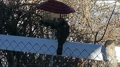 January 21, 2016 - A Cooper's Hawk visits a Broomfield bird feeder. (David Canfield)