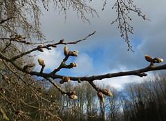 The beginning of spring (Elisa1880) Tags: netherlands leiden spring nederland beginning lente begin cronesteijn knopjes cronesteyn polderpark