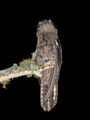 Urutau (Nyctibius griseus griseus) (Cludio Timm) Tags: pelotas urutau medalua nyctibiusgriseusgriseus taxonomy:binomial=nyctibiusgriseus helenicecascata