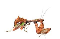(Celimaniac) Tags: mantis prayingmantis mantide gottesanbeterin femaleadult taiwanflowermantis nikond3s acromantisformosana
