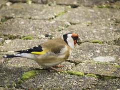 Putters (gijs leusink1) Tags: birds vogels overijssel putters genemuiden sigma150500 nikond7100 sigmadg150500f563apohsm
