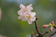 P2103905 (deception.tw) Tags: leica flower hsinchu taiwan olympus panasonic   45mm omd  em5  hsinchucity leicadgmacroelmarit12845
