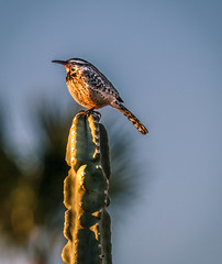The Cactus Wren (http://fineartamerica.com/profiles/robert-bales.ht) Tags: blue red arizona people brown white foothills southwest bird nature birds animal america wow photo backyard colorful flickr desert superb wildlife fineart feathers places aves brush mesquite perch wren states curious saguaro spiritual streaked sonoran magical arid inspiring haybales songbird stupendous iphone perching campylorhynchusbrunneicapillus chirps imagekind canonshooter catuswren permanentresidents aridregions curvedbill spottedfeathers photouploads whiteeyestripe robertbales barredwings nestsincactus
