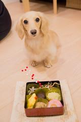 IMG_3925 (yukichinoko) Tags: dog newyear dachshund 犬 正月 kinako ダックスフント ダックスフンド きなこ 御節