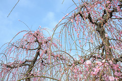20160305-DSC_1472.jpg (d3_plus) Tags: park street sky plant flower nature festival japan garden drive nikon scenery plum bloom 日本 28105mmf3545d odawara nikkor 花 ume 自然 kanagawa 空 touring 風景 植物 ドライブ 公園 神奈川 28105 景色 神奈川県 28105mm 祭り 路上 umeblossom ツーリング 小田原 zoomlense ニコン ズーム ガーデン 28105mmf3545 d700 281053545 kanagawapref nikond700 aiafzoomnikkor28105mmf3545d 28105mmf3545af aiafnikkor28105mmf3545d