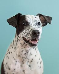 6/52: Juno (JackieN88) Tags: blue portrait dog pet pets animal mammal mutt mix indoor canine spots spotty spotted mixedbreed dalmatian project52 dalmatianmix