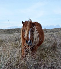 Weatherproof pony (EeyaEeya) Tags: horse nature field terschelling pony