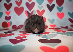 Happy Valentines Day (.annajane) Tags: pet cute hearts valentine pi hamster π syrianhamster