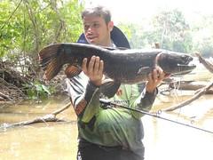1576_933893203367031_292054023921958335_n (Nelson Lage - pescamazon.com.br) Tags: trip travel fish river fishing amazon bass peixe catfish xingu flyfishing casting tucunare pescaria amazonia peacockbass trombetas payara