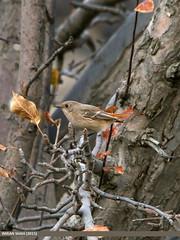 Rufous-backed Redstart (Phoenicurus erythronotus) (gilgit2) Tags: aliabad avifauna birds canon category fauna feathers geotagged gilgitbaltistan hunza imranshah location pakistan rufousbackedredstartphoenicuruserythronotus sigma sigma150500mmf563apodgoshsm species tags wildlife wings gilgit2 phoenicuruserythronotus 05birds