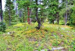 Late Summer at the Preserve (Patricia Henschen) Tags: mountains moose jackson wyoming grandtetons tetons preserve naturepreserve grandtetonnationalpark laurancesrockefellerpreserve