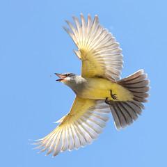 Cassin's Kingbird Hunting (bmse) Tags: yellow canon fly wings hunting l f56 salah bolsachica 400mm kingbird cassins wingsinmotion 7d2 bmse baazizi