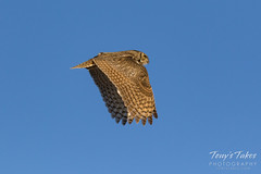 Great Horned Owl flyby sequence - 8 of 10