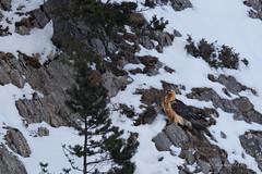 Gypaete barbu (stefdebarcelo) Tags: nature paca oiseaux ubaye faune alpesdehauteprovence ornithologie rapaces adulte gypaetusbarbatus gypatebarbu accipitrids