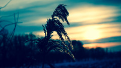 Winter sunset (ledman) Tags: from above blue winter light sunset sun white snow plant color art reed nature silhouette canon outside photography evening frozen photo twilight europe view cross outdoor low down goes process blueish