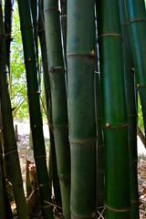 Jamaica February 2016 (Look @ Life) Tags: travel vacation island ally urlaub bamboo insel jamaica ferien reise allee bambus caribean karibik jamaika