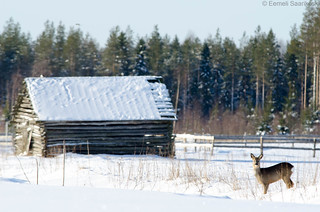 Roe deer and a barn