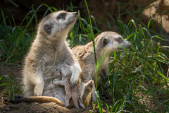 Mom and the Babysitter Check for Danger (helenehoffman) Tags: africa baby nature animal mom mammal meerkat wildlife babysitter sandiegozoo nursing carnivore suricatasuricatta specanimal mongoosefamily