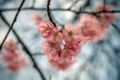 Sakura @Shinjuku (illustr8a) Tags: cherry tokyo spring shinjuku pentax blossoms sakura ks1 hanami