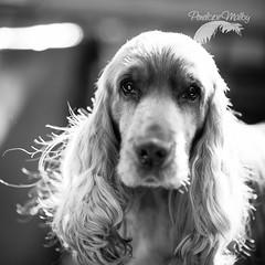 Bad hair day? (Penelope Malby Photography) Tags: dog canine spaniel cocker dogshow cockerspaniel gundog crufts 2016 goldencocker dogstodaymagazine penelmalby penelopemalbyphotography crufts2016