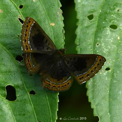 Chalodeta chaonitis (LPJC) Tags: butterfly colombia buenavista buena 2015 metalmark sanjosedelguaviare lpjc chalodetachaonitis