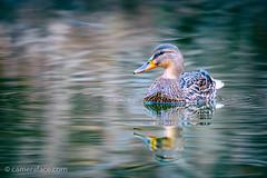 Mallad Duck (h3172010) Tags: toronto canada highpark