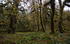 Hoh Rainforest (tealeemay) Tags: trees nature forest outdoors washington moss nikon hoh rainforest natural tokina pacificnorthwest wa ferns washingtonstate pnw d3200