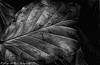 Beech leaf. (George McNeill photography) Tags: trees blackandwhite nature monochrome oneaday closeup beech reflector closeupphotography beechleaf lovephotography nikond7200 365photographchallenge