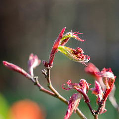 Wild Love (Rainer ) Tags: color macro spring 60mm makro acerpalmatum frhling acerjaponicum unsergarten japanischerfcherahorn rainer aprilsonne