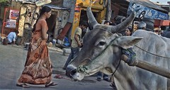Cowabunga! (Pejasar) Tags: life street people woman india cow dress faces walk candid delhi horns holy workingman littledoglaughedstories