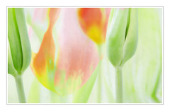 Tulips Colormania - Tulpen (macplatti) Tags: multipleexposure farbe pleasure springtime frhling freude colorexplosion farbexplosion mehrfachbelichtung canon5dmarkiii caonef100mm