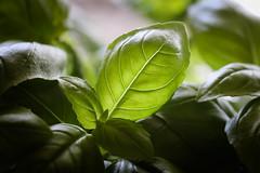 115 - Hey, Basil... (DanielleDeviated) Tags: food plant macro green kitchen leaves closeup basil herb 80mm 366project 3662016